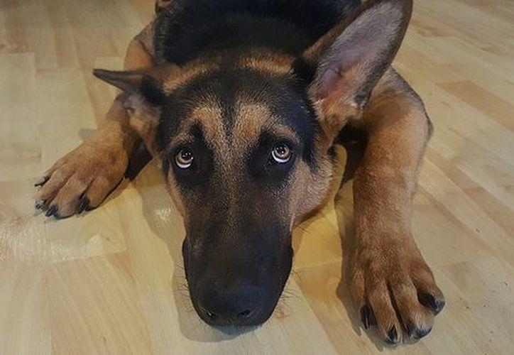 El animal, de unos 40 kilos de peso y que murió a raíz del impacto, cayó sobre una mujer. (Foto: Milenio)