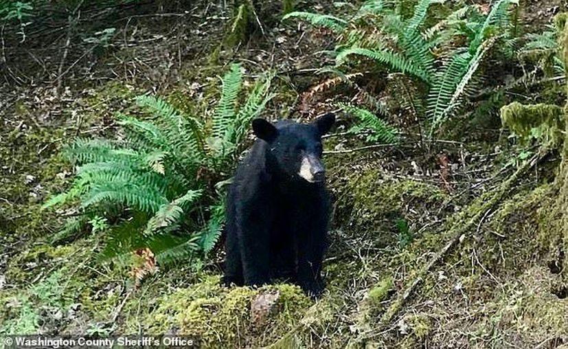 El oso ponía en riesgo no solo su integridad, sino la de los visitantes. (Internet)