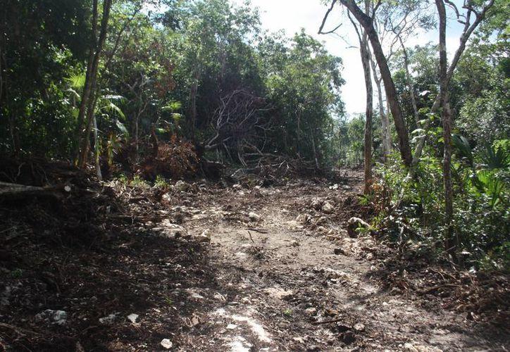 Campesinos denuncian la tala clandestina de maderas preciosas en terrenos nacionales.  (Rossy López/SIPSE)