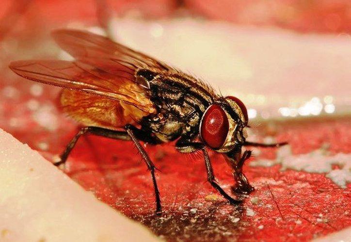 La mosca de Blandford es un insecto chupasangre que mide entre 2 y 3 milímetros. (Foto: Contexto/Internet).