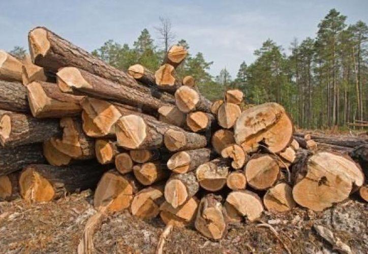 Aunque en volumen de producción bruto Quintana Roo no figura en los primeros lugares, el valor de ésta en maderas preciosas  es el mayor en todo el país. (Internet)