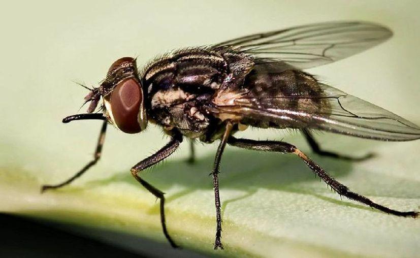 Una mosca común adulta (Musca domestica) vive de 15 a 25 días. (Contexto/Internet).