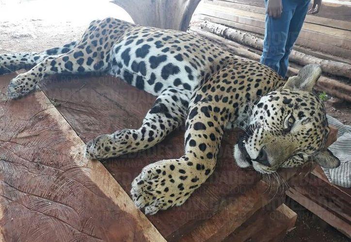 El jaguar presentaba orificios en sus miembros. Foto: Redacción