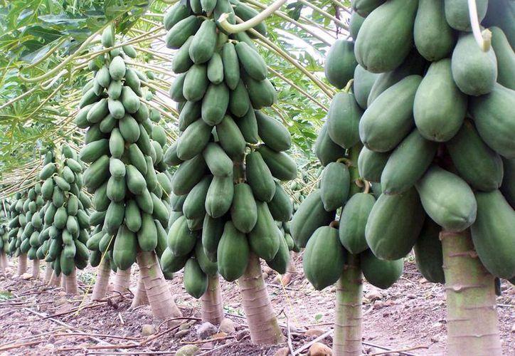 Los productores yucatecos de papaya maradol esperan colocar hasta diez contenedores por semana, cada uno con capacidad para 20 toneladas de la fruta. (Milenio Novedades)