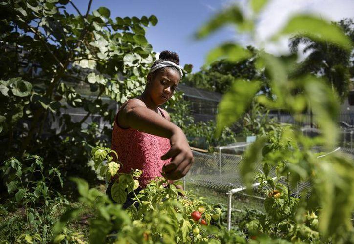"""Madeline de los Santos recoge chiles """"aji"""" en el jardín comunitario de Capetillo, donde colaboran los vecinos en Río Piedras, Puerto Rico. (AP/Carlos Giusti)"""