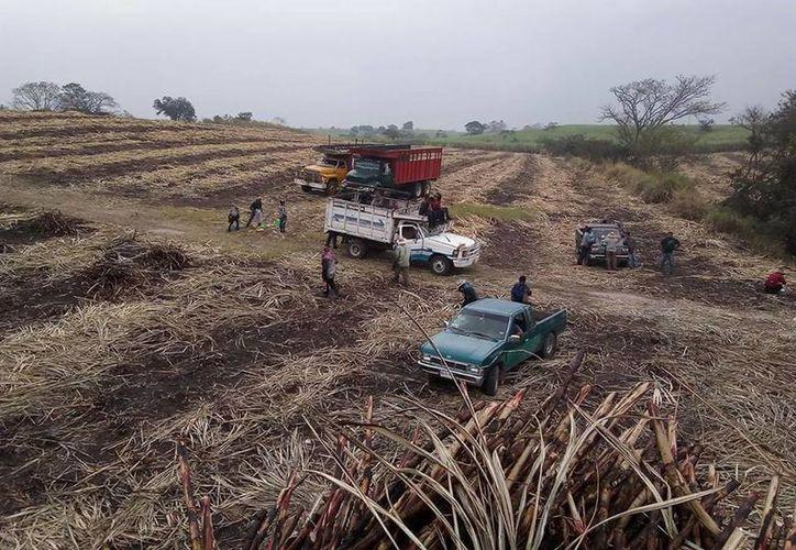 Reconocen el esfuerzo de los cortadores para sacar las 10 mil toneladas de manera continua. (Carlos Castillo/SIPSE)