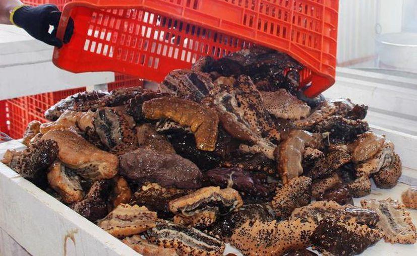 El decomiso de pepino de mar en Progreso se logró mediante una orden de cateo en una congeladora. (SIPSE/Archivo)