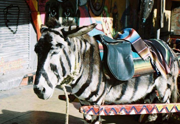 El 'burrocebra' es una de las grandes atracciones turísticas de la ciudad de Tijuana. (nationmindmachine.com)