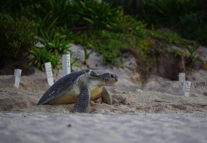 Cuatro de las siete especies de tortugas marinas, escogen playas de Quintana Roo para desovar. (Redacción/SIPSE)