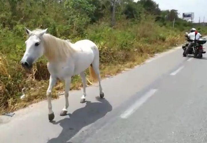 Elementos de Tránsito buscan atrapar a los caballos. (Eric Galindo/ SIPSE)