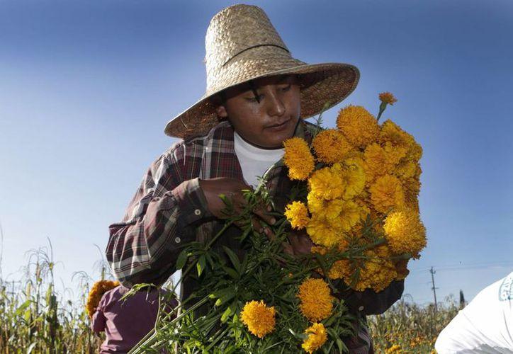 El cempasúchil es la flor que domina las ofrendas del Día de Muertos en todo México. (Notimex)