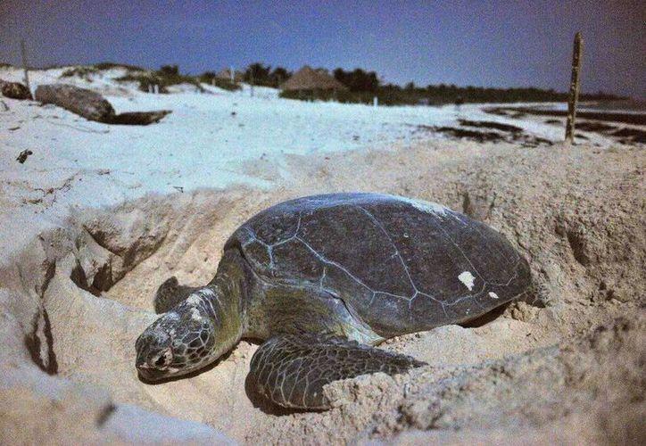 Los nidos de tortugas son resguardados, así como los huevos y las crías hasta su liberación al mar. (Redacción/SIPSE)