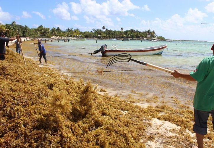 Aunque los lineamientos para limpieza establecen el uso de maquinaria ligera, la invasión del alga supera la mano de obra disponible. (Sara Cauich/SIPSE)