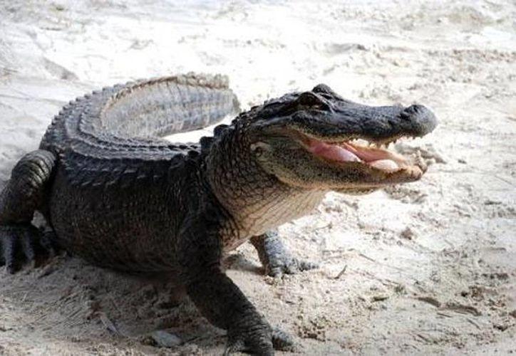 Los animales que fueron 'revisados' están separados del resto que habita el estero, para evitar confusiones, se proyecta continúe el proceso con otros cocodrilos del estero El Caimán. (Excelsior)