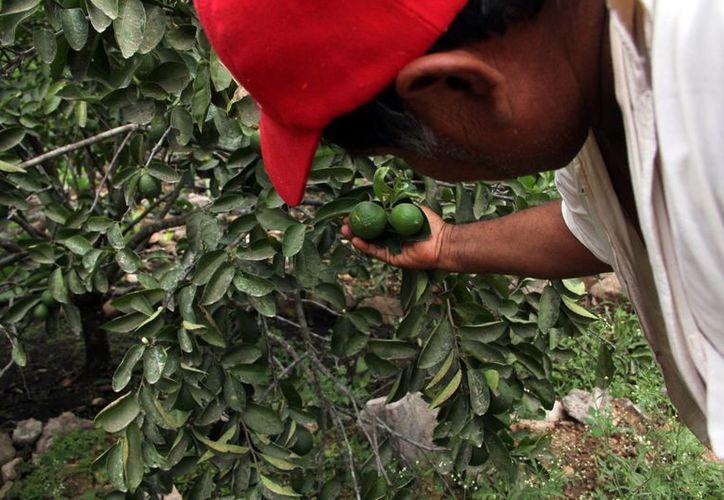 Los proyectos de Fundación Produce Yucatán buscan innovar en el campo local. (Milenio Novedades)