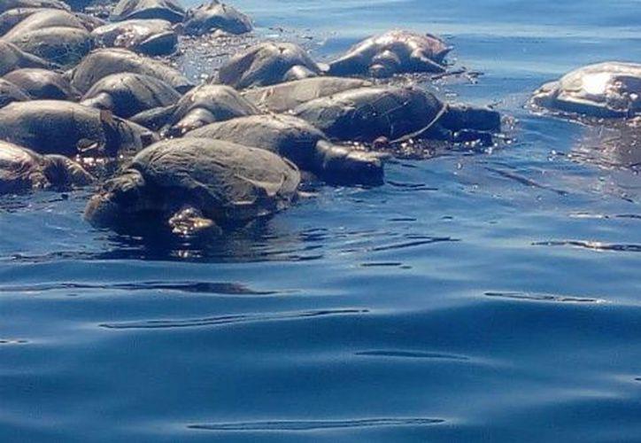 Aproximadamente 100 tortugas murieron al quedar atrapadas en una red para capturar atún, en Oaxaca. (Excélsior)