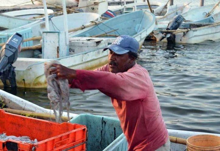Los pescadores respetan la veda del pulpo. Se coloca el Estado como el primer productor de esta especie a nivel nacional. (Milenio Novedades)