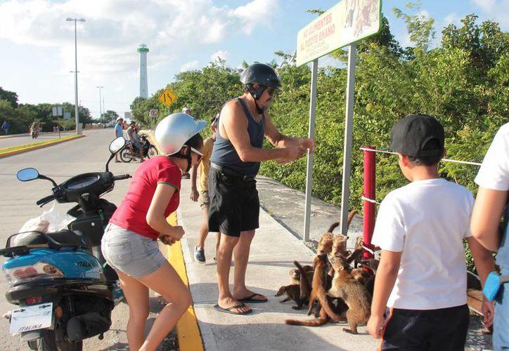 Los coatíes son una especie que se encuentra en al lista de especies amenzadas en Quintana Roo. (Gustavo Villegas/SIPSE)