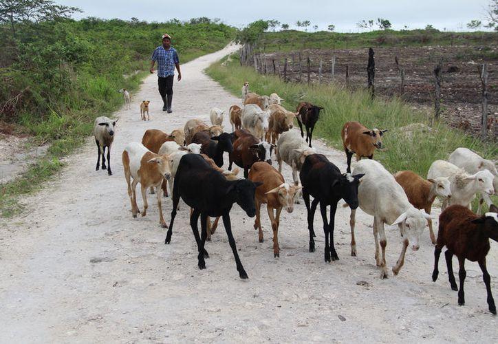 Por sus características, la ganadería es 'nómada'; en la época de sequía va a zonas bajas y en la época de lluvias va a zonas altas. (Carlos Castillo/SIPSE)