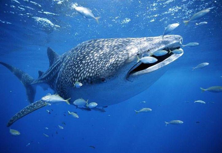 Destacan la importancia de la presencia del tiburón ballena, pues no sólo es un espectáculo inigualable, sino es el sustento de muchas familias. (Foto de Contexto/Internet)
