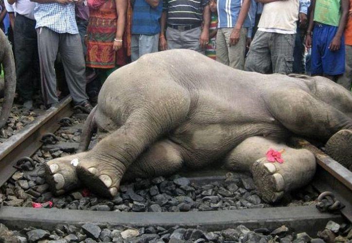 Uno de los tres elefantes que murió esta mañana arrollado por el ferrocarril. (fOTO: AFP en MILENIO)