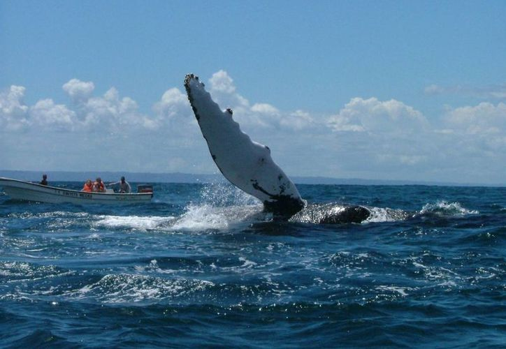 Fotografía de una de las cientos de ballenas jorobadas que llegan a bahía de Samaná, en el noreste de la República Dominicana, donde se instalan desde hace siglos, de enero a marzo, para aparearse y parir. (Archivo/EFE)