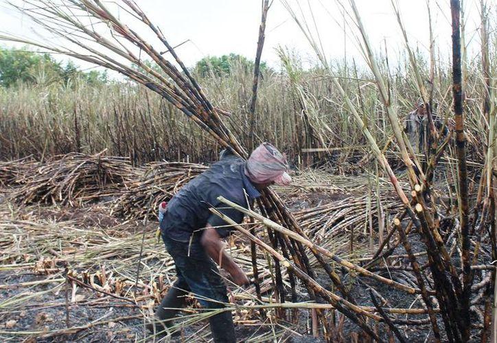 Los productores de caña ajustaron el precio para el pago de seguro de los 2 mil 300 labriegos que trabajan en el sur del Estado. (Edgardo Rodríguez/SIPSE)