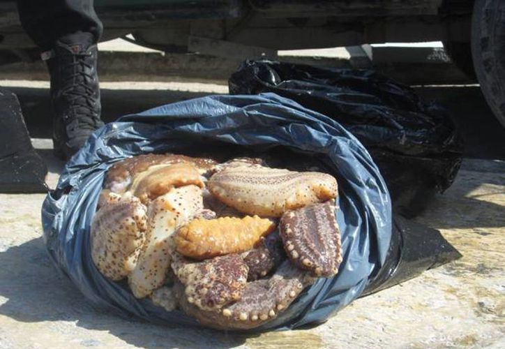 El pepino de mar es una especie que actualmente está en veda. Esta mañana detuvieron a tres pescadores con 200 kilos de esta especie marina. (Archivo/SIPSE)