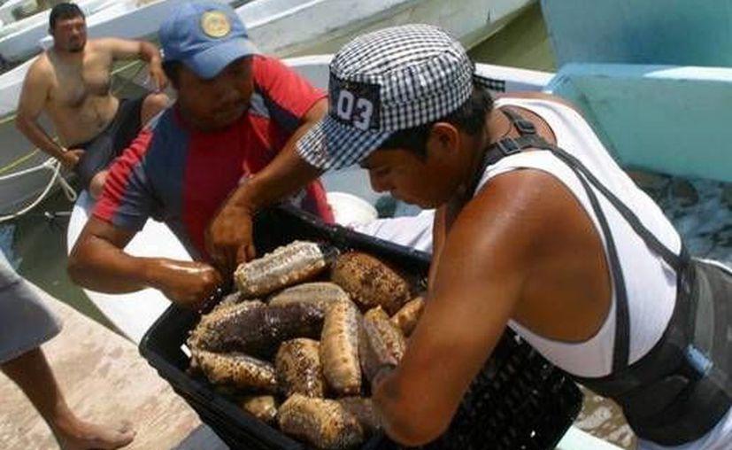 Las autoridades de Pesca señalan que pequeños grupos instigan a marinos a violar la veda de pepino. (Milenio Novedades)