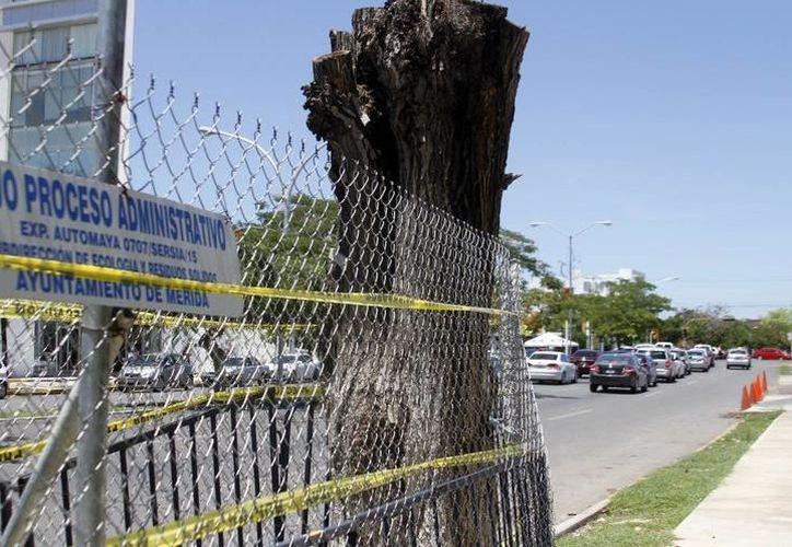 Hay unos 700 mil árboles mal podados en varios sitios de la ciudad. (Archivo/Milenio Novedades)