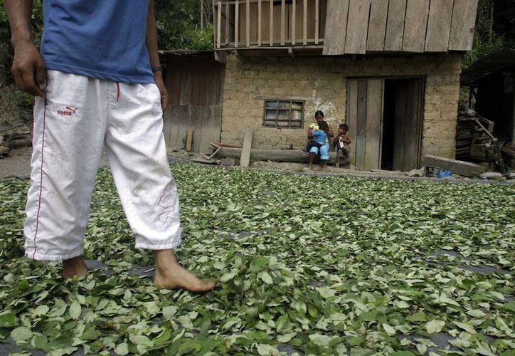 Un productor de hoja de coca camina sobre las hojas cultivadas por su familia en el valle peruano de Apurimac. (Agencias)