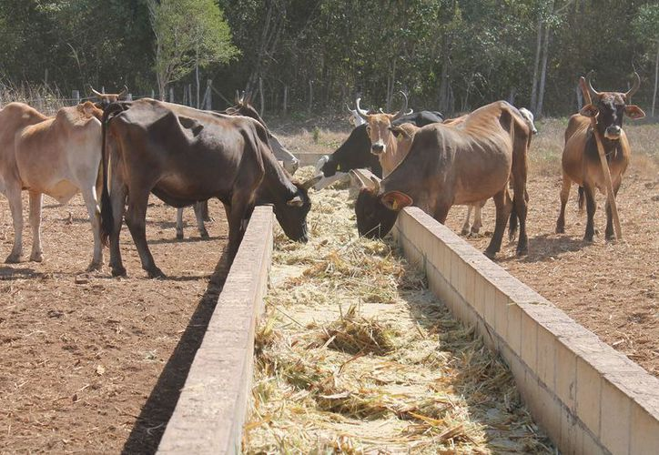 La cuestión ganadera y agrícola de la zona se ha estancado en cuanto a producción. (Joel Zamora/SIPSE)