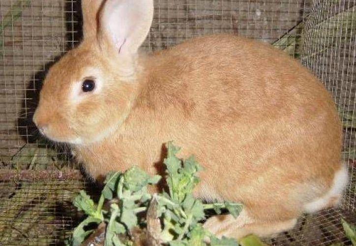 El conejo es un animal muy dócil y puede ser criado por cualquier persona. (Archivo/SIPSE)