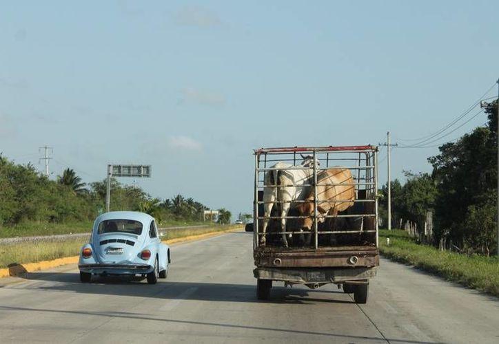Diariamente se roban entre una y tres cabezas de ganado en la región. (Edgardo Rodríguez/SIPSE)