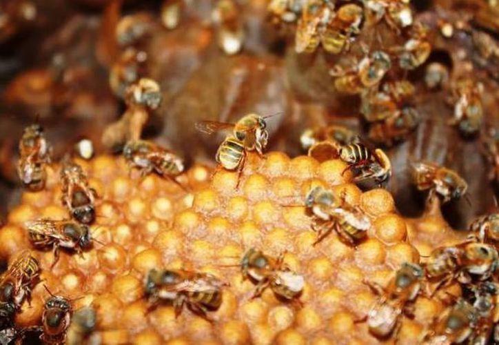 Estudios a nivel internacional han demostrado la importancia de las abejas en la conservación del medio ambiente. (Archivo/SIPSE).