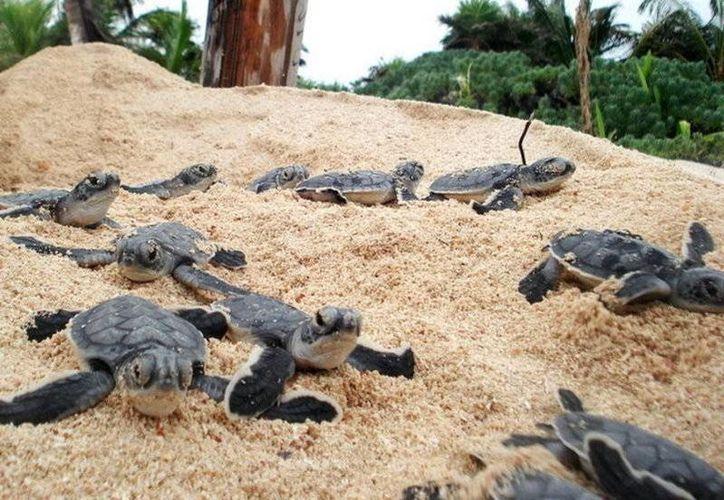 El Festival de la Tortuga Marina Tulum 2016 será del 21 al 23 de octubre. (www.noticiasmvs.com)