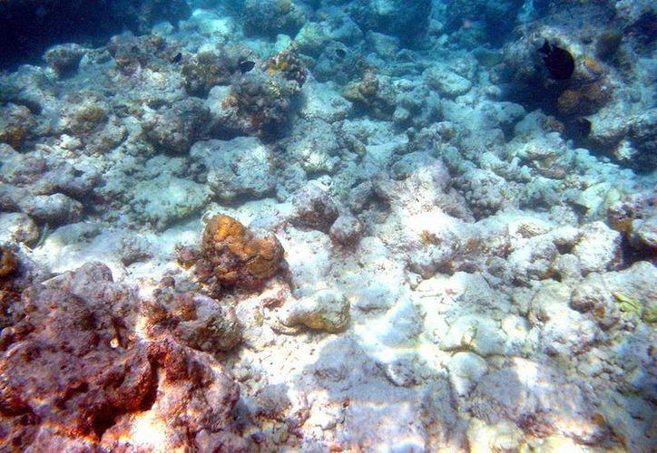 Hay corales que crecen por lo menos cuatro centímetros cada año. (Redacción/SIPSE)
