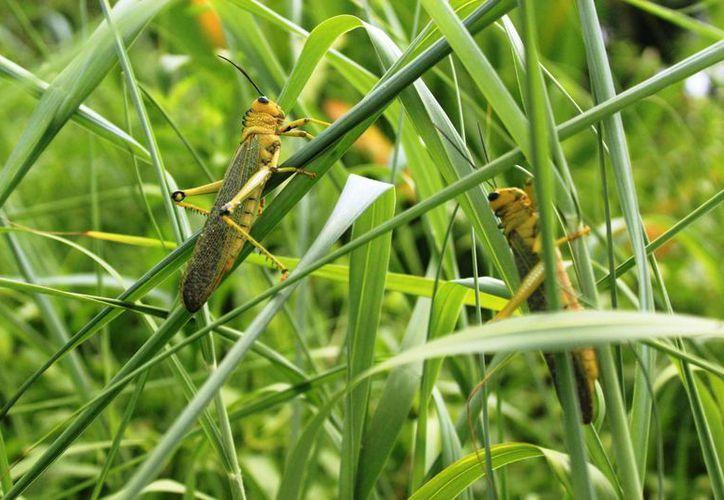 Las autoridades agropecuarias evaluarán la afectación de las langostas en los cultivos. (Octavio Martínez/SIPSE)