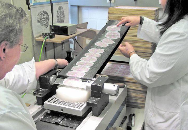 Seccionaron el tejido en más de 7 mil 400 láminas de 20 micrones de ancho. (MILENIO)