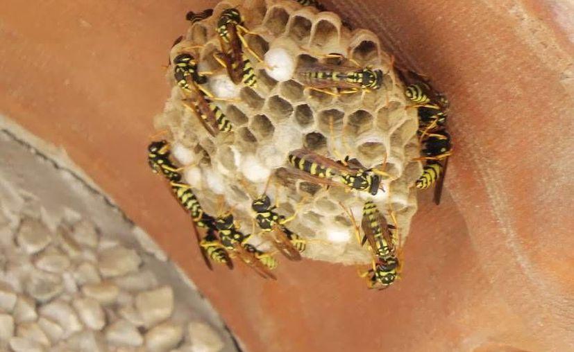 En diciembre hubo un repunte de llamadas para eliminar nidos de avispas y enjambre de abejas. (Foto de Contexto/Internet)