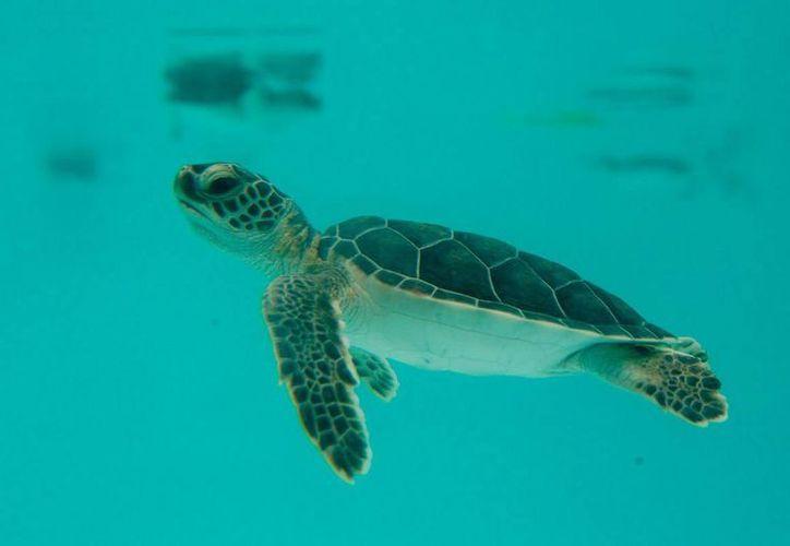 Arriban en Q. Roo cuatro especies de tortugas: blanca, caguama, laúd y carey. (Redacción/SIPSE)