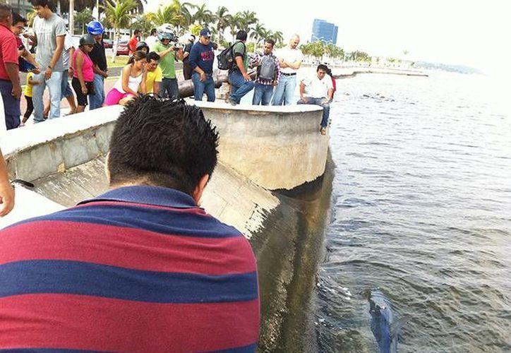Pescadores descubrieron los restos del tiburón azul en el malecón de Campeche. Los curiosos no tardaron en llegar. (excelsior.com.mx)