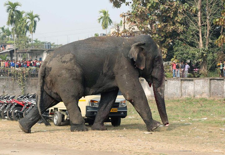 Las cuatro víctimas fueron pisoteadas por el elefante en el campo improvisado. (Foto: Contexto/Tribuna)