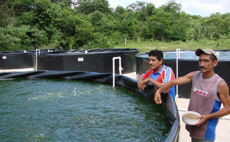 Productores de tilapia en la zona maya demandan apoyos for Criadero de pescado tilapia