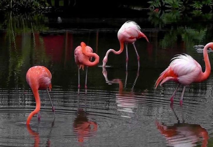 Es el flamenco del Caribe o rosado, es más grande del continente, y el segundo del mundo. (Contexto/Internet)