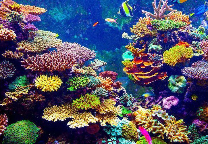 El objetivo del rpoyecto es lograr reproducir nuevas colonias de corales de manera sexual. (Contexto/Internet)