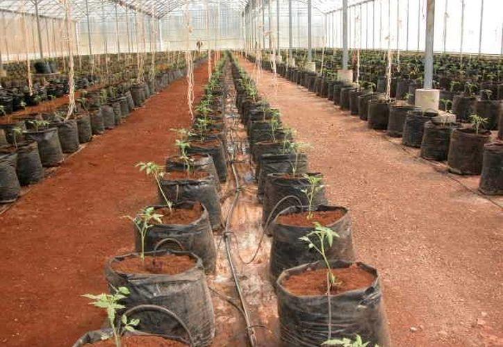 En algunos sitios, los invernaderos se están utilizando para la producción de plántulas, en coordinación con las dependencias del sector agrícola en el Estado; buscan reactivar 28 huertos adicionales. (Manuel Salazar/SIPSE)