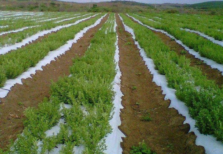 De acuerdo con expertos, la stevia es perfectamente adaptable a los suelos de la región. (SIPSE)