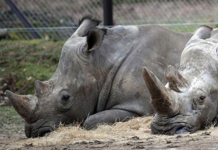 Los rinocerontes Bruno (izq) y Gracie descansan en el Zoológico de Thoiry, cerca de París. En ese zoológico un rinoceronte llamado Vince fue asesinado y le fue removido uno de sus cuernos mediante una sierra de cadena. (AP/Christophe Ena)