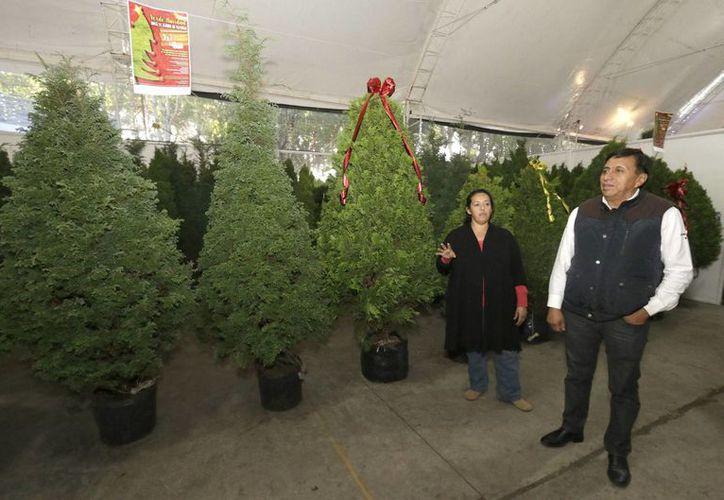 Cada año, en la temporada decembrina se aplica el Programa de Verificación para asegurar una adecuada calidad sanitaria de los árboles de Navidad que ingresas al territorio nacional. (Notimex)